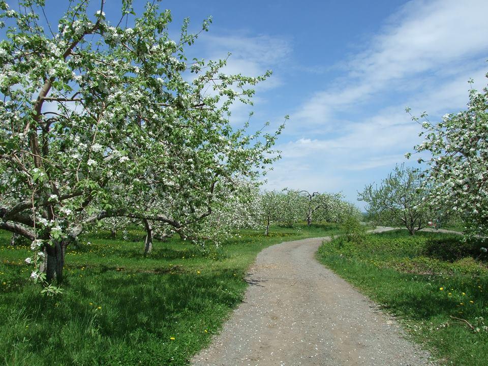 Les Pommiers en fleurs du Domaine Lafrance sont de retour